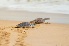 Hawksbill sea turtle on the beach. stock images