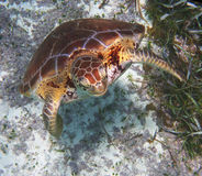 Hawksbill Sea Turtle Stock Photo