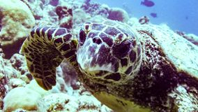 Hawksbill sea turtle in blue lagoon of Indian Ocean, Maldives. stock photo