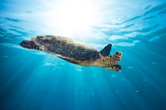 Hawksbill sea turtle. In blue ocean water Royalty Free Stock Images