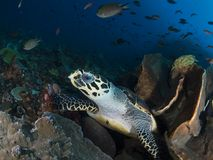 Hawksbill sea turtle. A close-up wide-angle image of a hawksbill sea turtle looking directly into the camera as it takes a break from feeding on sponges and soft Stock Photo