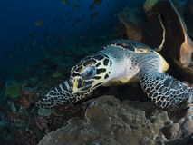 Hawksbill sea turtle. A close-up wide-angle image of a hawksbill sea turtle looking directly into the camera as it takes a break from feeding on sponges and soft Royalty Free Stock Images