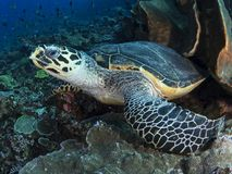 Hawksbill sea turtle. A close-up wide-angle image of a hawksbill sea turtle looking directly into the camera as it takes a break from feeding on sponges and soft Royalty Free Stock Photography
