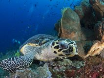 Hawksbill sea turtle. A close-up wide-angle image of a hawksbill sea turtle looking directly into the camera as it takes a break from feeding on sponges and soft Stock Photos