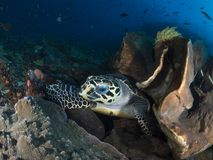 Hawksbill sea turtle. A close-up wide-angle image of a hawksbill sea turtle looking directly into the camera as it takes a break from feeding on sponges and soft Stock Image
