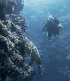Hawksbill Sea Turtle on Coral Reef Wall Underwater with Diver stock image