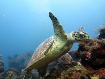 Hawksbill  sea turtle   current on coral reef Stock Photo