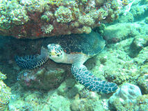 Hawksbill  sea turtle   current on coral reef Royalty Free Stock Photos