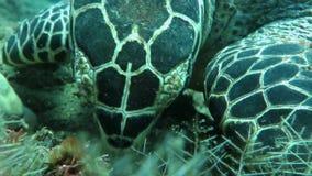 Hawksbill sea turtle current on coral reef island Bali stock video