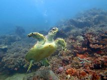 Hawksbill sea turtle current on coral reef island, Bali. Hawksbill  sea turtle   current on coral reef  island, Bali Stock Images