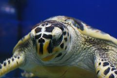 Hawksbill sea turtle Eretmochelys imbricata, also known as Bissa in their habitat stock photography