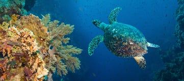 Hawksbill sea turtle (Eretmochelys imbricata) Royalty Free Stock Photography