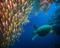 Hawksbill sea turtle (Eretmochelys imbricata). In blue water Royalty Free Stock Photography