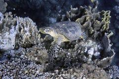 Hawksbill sea Turtle Stock Images