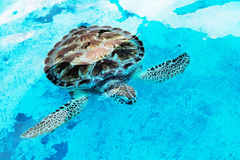 Hawksbill sea turtle Eretmochelys imbricata is critically endangered sea turtle. Hawksbill sea turtle Eretmochelys imbricata at a rehabilitation center in Cancun stock photography