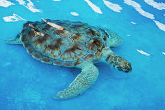 Hawksbill sea turtle Eretmochelys imbricata is critically endang. Hawksbill sea turtle Eretmochelys imbricata at a rehabilitation center in Cancun Mexico. The Stock Photo