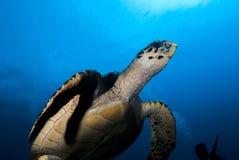 A Hawksbill Sea Turtle (Eretmochelys imbricata). Diving off the Eluthera, Bahamas royalty free stock photography