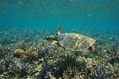 A hawksbill sea turtle Eretmochelys imbricata. Underwater on a shallow coral reef, south Pacific ocean, New Caledonia, Oceania stock image