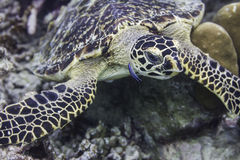 Hawksbill sea turtle (Eretmochelys imbricata) Stock Photos