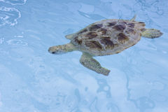 Hawksbill sea turtle (Eretmochelys imbricata) Royalty Free Stock Photos