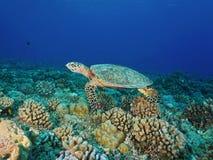 Hawksbill sea turtle Eretmochelys imbricata Royalty Free Stock Photo