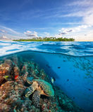Hawksbill Sea Turtle exploring coral reef under water surface. Hawksbill Sea Turtle exploring coral reef under the water surface. Tropical island above Stock Images