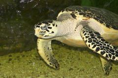 Hawksbill sea turtle floating in a glass aquarium. Royalty Free Stock Images