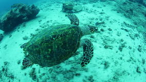Hawksbill Sea Turtle in Palau. A Hawksbill sea turtle swims over a coral reef in Palau, Micronesia. Palau is famous for its healthy fish and shark populations stock video footage