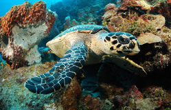 Hawksbill sea turtle and reef Royalty Free Stock Photography
