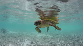 Hawksbill Sea Turtle Resting at Surface stock video footage