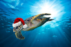 Hawksbill sea turtle with santa hat. In the ocean Royalty Free Stock Image