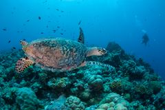 Hawksbill Sea Turtle and Scuba Diver in Palau stock photography