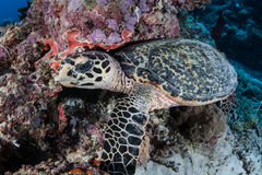 Hawksbill Sea Turtle. A Hawksbill turtle searches for sponges to feed on in Palau. This reptile is an endangered species Royalty Free Stock Photography