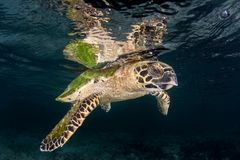 Hawksbill Sea Turtle at Surface of Ocean stock photos