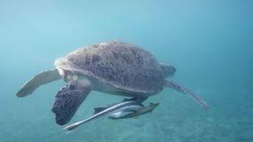 Hawksbill Sea Turtle swimming in blue water Stock Photo