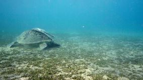 Hawksbill sea turtle swimming in blue water stock video