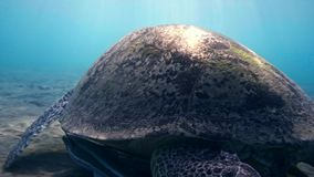 Hawksbill Sea Turtle swimming in blue water stock video footage