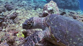 Hawksbill sea turtle swimming eating on coral reef stock video footage