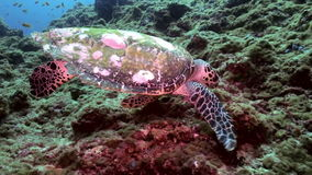 Hawksbill sea turtle swimming eating on coral reef stock footage