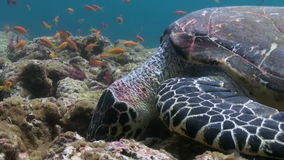 Hawksbill sea turtle swimming eating on coral reef. Amazing, beautiful underwater marine life world of sea creatures in Maldives. Scuba diving and tourism stock footage