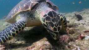 Hawksbill sea turtle swimming eating on coral reef stock video