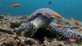 Hawksbill sea turtle swimming eating on coral reef. Amazing, beautiful underwater marine life world of sea creatures in Maldives. Scuba diving and tourism stock video footage