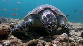Hawksbill sea turtle swimming eating on coral reef. Amazing, beautiful underwater marine life world of sea creatures in Maldives. Scuba diving and tourism stock video