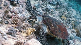 Hawksbill sea turtle swimming eating on coral reef. Amazing, beautiful underwater world Red Sea and  life of its inhabitants, creatures and diving, travels stock video footage