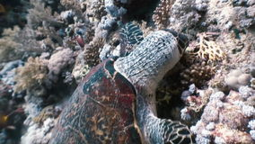 Hawksbill sea turtle swimming eating on coral reef. Amazing, beautiful underwater world Red Sea and  life of its inhabitants, creatures and diving, travels stock video