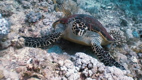 Hawksbill sea turtle swimming eating on coral reef. Amazing, beautiful underwater world Red Sea and  life of its inhabitants, creatures and diving, travels stock footage
