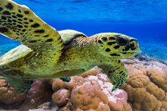 Hawksbill sea turtle swimming in Indian ocean in Maldives Stock Photos