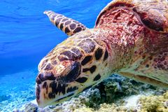 Hawksbill sea turtle swimming in Indian ocean in Maldives Stock Images