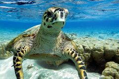 Hawksbill sea turtle swimming in Indian ocean in Maldives Stock Photo