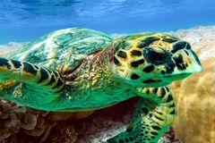 Hawksbill sea turtle swimming in Indian ocean in Maldives Stock Image